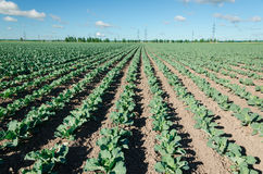 Field of young cabbage Royalty Free Stock Photo