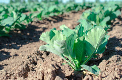 Field of young cabbage Stock Images