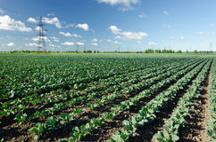 Field of young cabbage Royalty Free Stock Photography