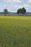 Field of Young Canola Plants Royalty Free Stock Image