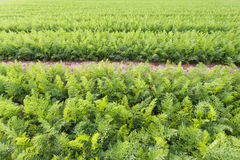Field of young carrots Royalty Free Stock Image