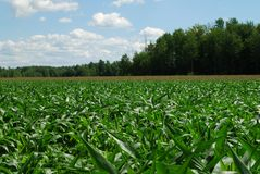 Field of young corn Stock Photos