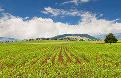 Field with young corn Stock Photography