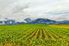 Field with young corn Stock Image