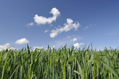 Field of Young Corn with a Blue Sky Royalty Free Stock Photos