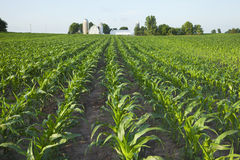Field of young corn with farm in background. A green field of young corn plants with a farm in the background Stock Photo