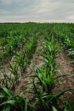 Field of young corn. A few weeks old corn on a vast field stock image