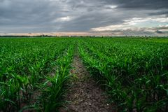 Field of young corn. A few weeks old corn on a vast field Royalty Free Stock Photos