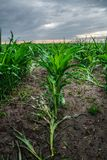 Field of young corn. A few weeks old corn on a vast field Stock Photos