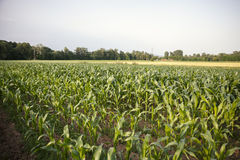 Field of young corn Stock Images