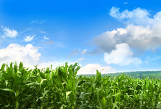 Field of young corn growing against blue sky Stock Photo