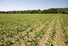 Field with young corn plants Royalty Free Stock Images