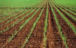 Field of young corn plants. Stock Photos