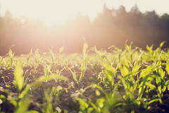 Field of young corn plants backlit by the sun Royalty Free Stock Image