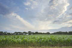 Field of young corn with sky and clouds Stock Photo
