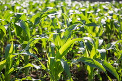 Field of young corn Stock Image