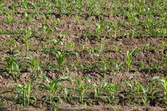 Field of young corn Royalty Free Stock Images