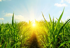 Field of young corn and sun sky Royalty Free Stock Image