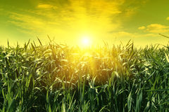 Field of young corn and sun sky Royalty Free Stock Photos