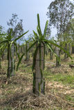 Field of young dragon fruit plants lead on concrete poles. Stock Photo