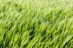 Field of young green barley in the wind before sunset, abstract Stock Image