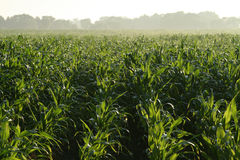 Field of young green corn Royalty Free Stock Image
