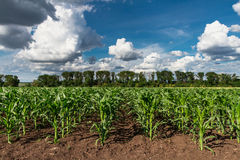 Field of young green corn plants Stock Photos