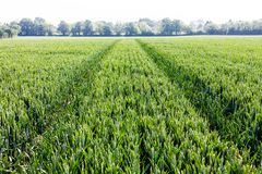 Field of young green grain. Farming and agriculture concept with green grain plants. stock image