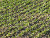 Field with young green grain Royalty Free Stock Photography