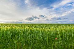 Field of young green wheat with poppy flower and blue sky stock photography