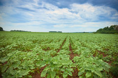 Field of young green sunflower plants.  Royalty Free Stock Image