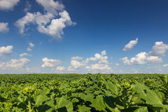 Field of young green sunflower plants. Sunflower Field Stock Image