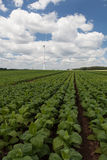 Field with young green tobacco Royalty Free Stock Photo