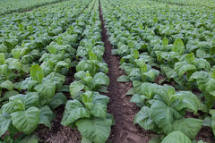 Field with young green tobacco Stock Photography