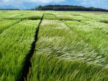 Field young green wheat Stock Photography
