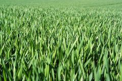 Field of young green wheat Stock Images