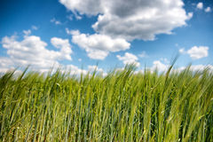 Field of young green wheat or barley Stock Images