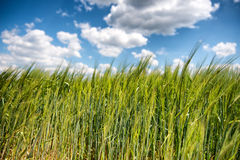 Field of young green wheat or barley Royalty Free Stock Photo
