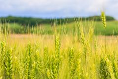 The field of young green wheat with selective focuse on some wheat spikes closeup, a beautiful colorful landscape with Royalty Free Stock Image