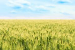 Blurred background of the field of young green wheat with selective focuse on some spikes, a landscape with the blue sky Royalty Free Stock Photos