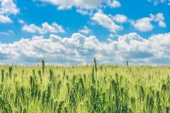 The field of young green wheat with selective focuse on some spikes, a landscape with the blue sky with clouds Stock Images