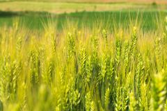 The field of young green wheat with selective focuse on some wheat spikes closeup, a beautiful colorful landscape with Royalty Free Stock Images