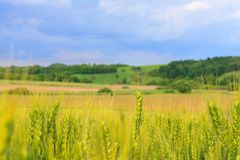 The field of young green wheat with selective focuse on some wheat spikes, closeup, a beautiful colorful landscape with Royalty Free Stock Images