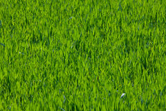 Field of young growing grass in springtime. Field of green grass as background Royalty Free Stock Photos