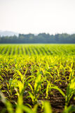 Field of young maize plants Stock Photo