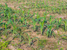 field of young organic corn plants Royalty Free Stock Image