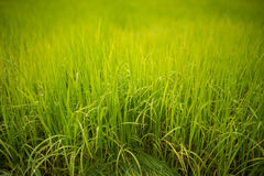 Field of young rice plant Royalty Free Stock Photography
