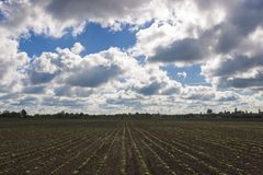 Field with young shoots against the sky with clouds. Agricultural field with shoots in the background of a cloudy sky Royalty Free Stock Photos