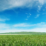 field with the young shoots Royalty Free Stock Photo