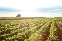 Field of young soybean plants stock images